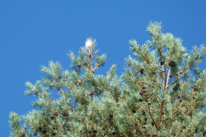 Un nid de chenilles processionnaires du pin.