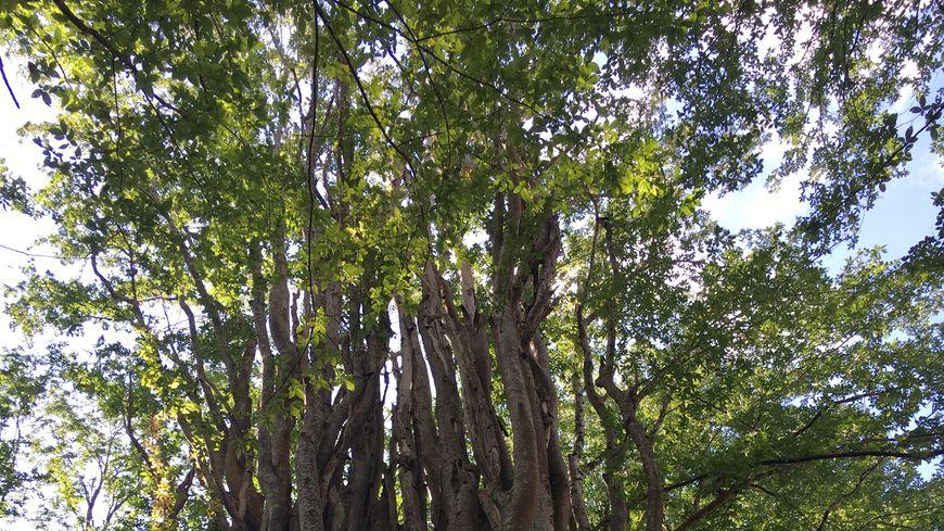 """Cet orme du Caucase a été labellisé """"arbre remarquable de France"""" le 19 mai 2013."""