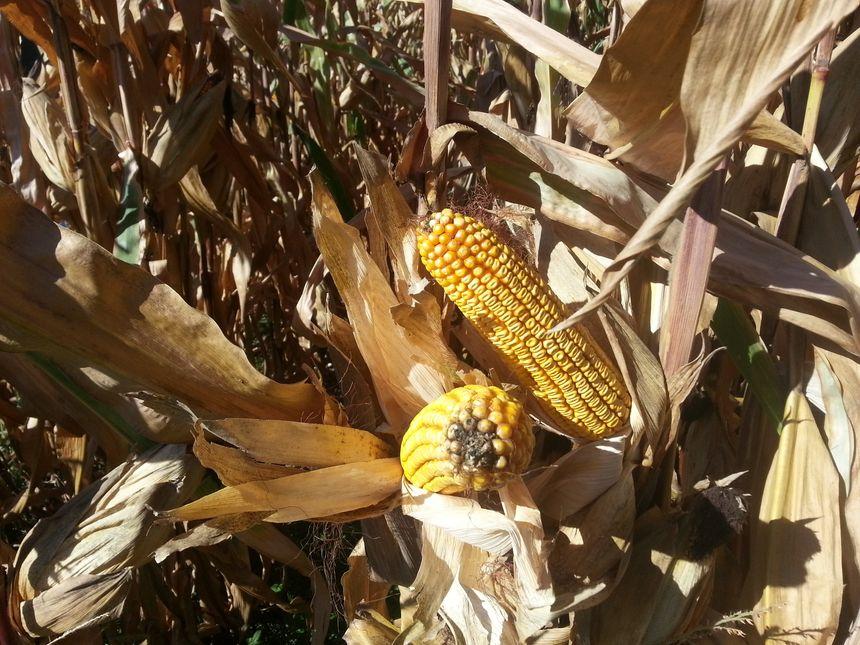 Le maïs de Thomas Obrecht s'est bien développé avec l'irrigation