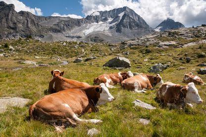 Une vache émet en moyenne 100kg de méthane par an