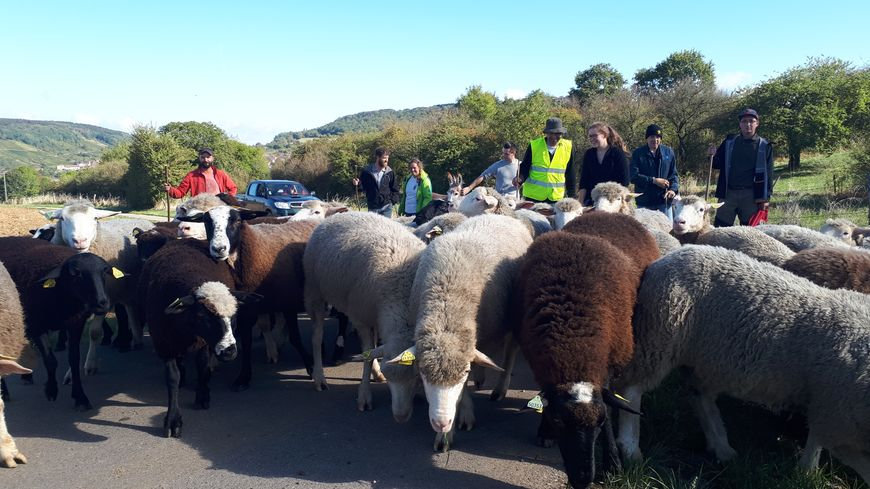 Une cinquantaine de brebis de retour à la ferme du Chambeyron à Rettel après avoir pâturé tout l'été sur les pelouses calcaires de Montenach.