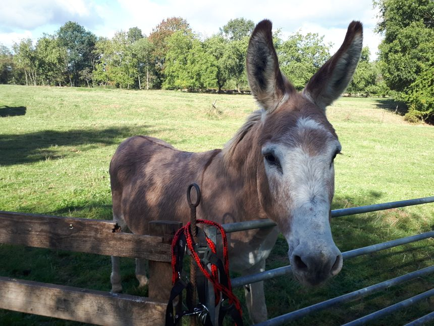 L'âne Banania, chargé de protéger le troupeau sur les pelouses calcaires.