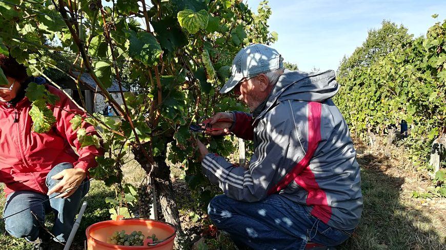 Un bénévole récolte le raisin du vignoble de la Morinière à Saint-Denis-d'Anjou