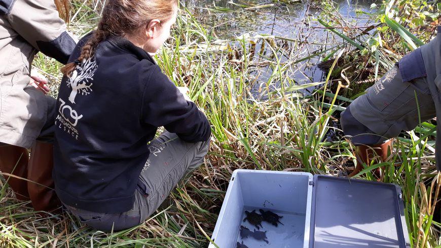 Une trentaine de petites tortues a été relâchée près de Lauterbourg