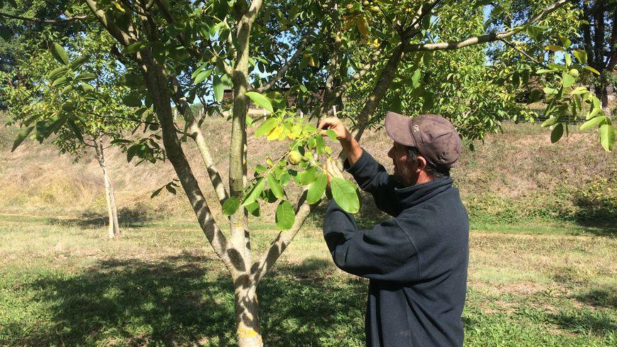 Philippe Leymat surveille ses noyers de près. Même ses jeunes arbres, ici de la variété Fernor, sont bien remplis de fruits