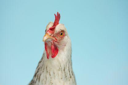 Pourquoi mange-t-on moins de viande, mais toujours autant de poulet ?