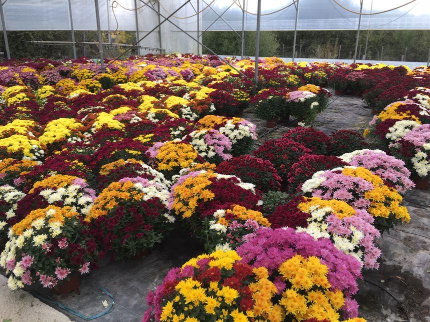 Les chrysanthèmes multicolores à petites fleurs ont aujourd'hui remplacé les traditionnelles chrysanthèmes unicolores à grandes fleurs.