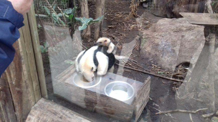 Le petit fourmilier sur le dos de sa mère Qoali
