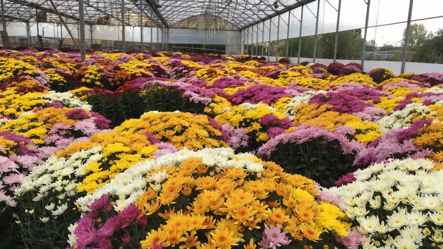 Difficile de ne pas le voir sur nos marchés. Le chrysanthèmes est le roi de la Toussaint. Il demande patience et énergie à ceux qui le cultivent.