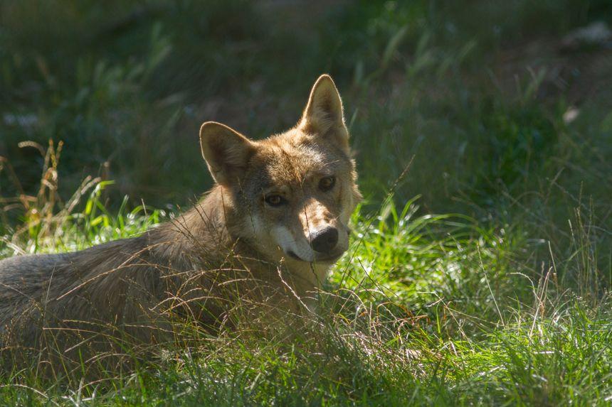 Le territoire est connu pour être un lieu de passage de loups.