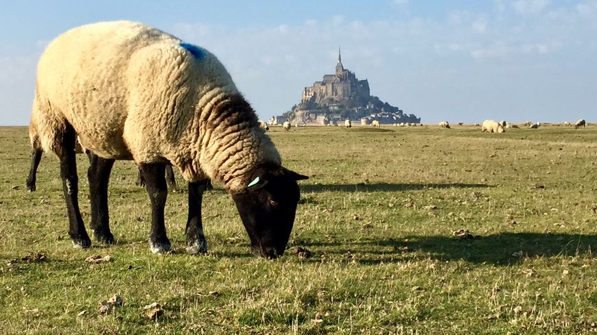 Un mouton sur les prés salés du Mont-Saint-Michel dans la Manche, jeudi 25 octobre.
