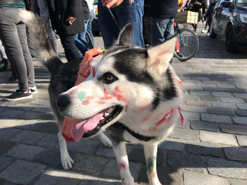 Avez-vous déjà vu un husky-zombie ?