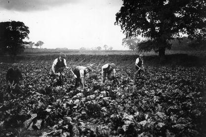 Des hommes travaillant dans un champ de betteraves, en 1913