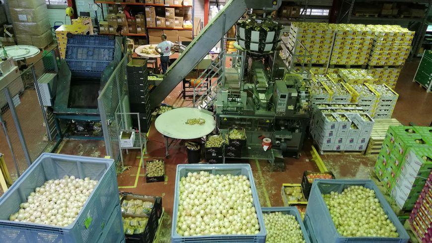 80% de la production d'oignons doux des Cévennes est regroupée dans la coopérative Origine Cévennes