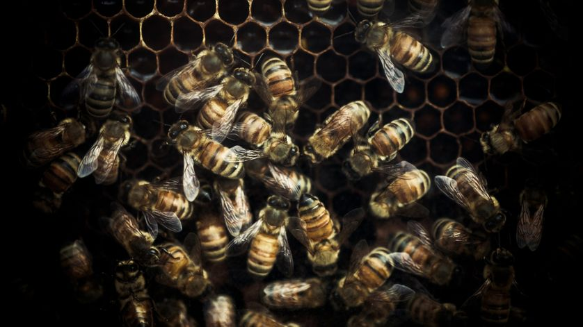 Quelles conséquences à la disparition des abeilles ?