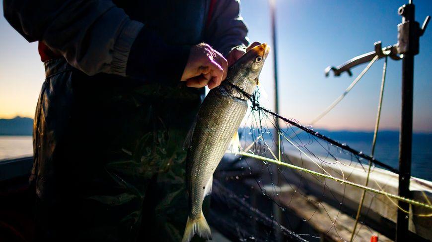 En un an, la pêche de féras a chuté de 35% dans le Léman