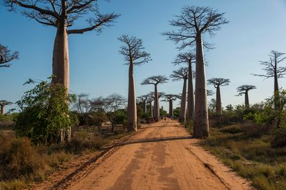 Avenue des Baobabs ou allée des Baobabs, Baobabs de Grandidier (Adansonia grandidieri), Morondava, à Madagascar