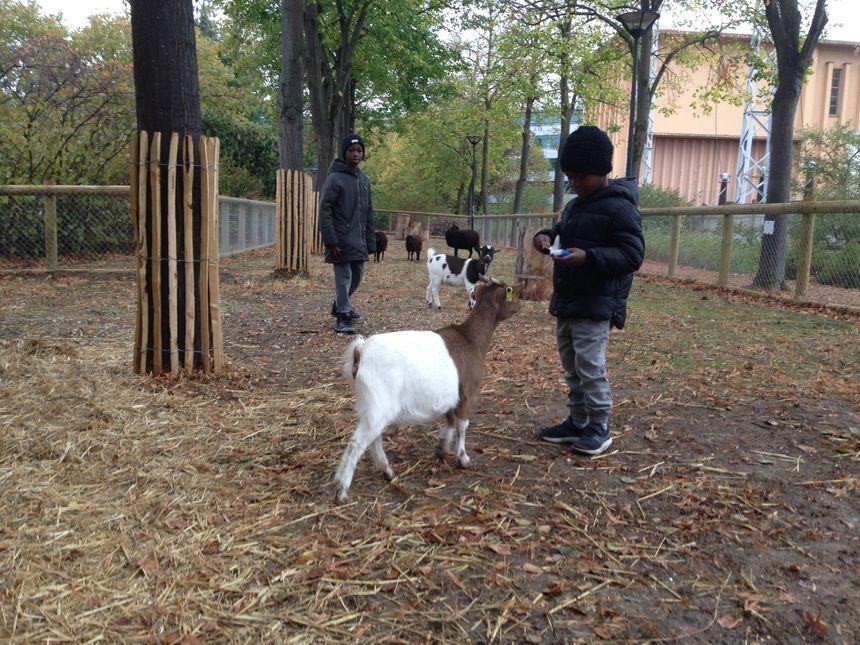 Les stars de la ferme pédagogique : les chèvres
