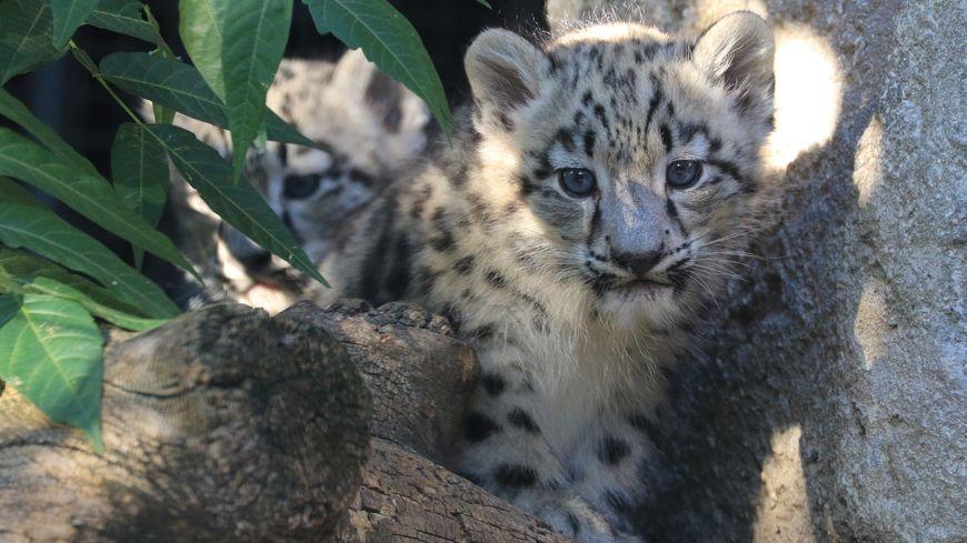 Photos Deux Pantheres Des Neiges Sont Nees A La Menagerie Du