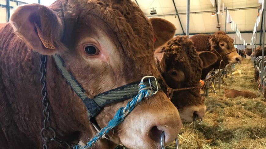 Le lait d'une vache amaigrie contient moins d'anticorps et immunise donc moins bien les veaux.