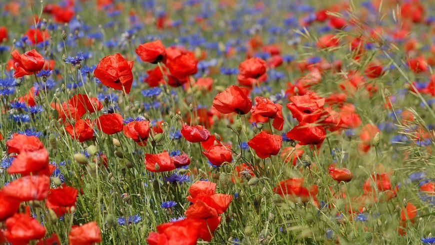 Le coquelicot et le bleuet, fleurs emblématiques de la Grande Guerre