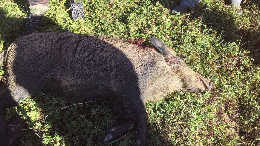 Les chasseurs ont abattu mercredi 24 octobre un sanglier qui menaçait la nationale 124 à hauteur de Pibrac.
