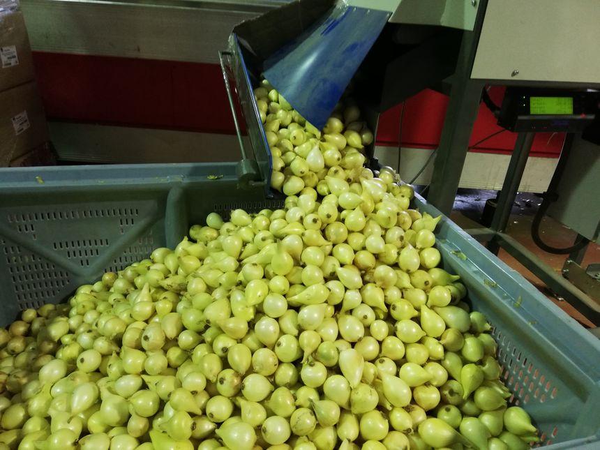 Les oignons doux sont d'abord séchés, puis calibrés avant d'être emballés.
