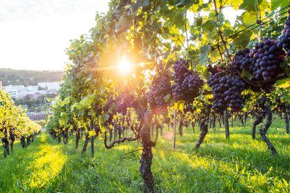 Fin des désherbants chimiques dans les vignes