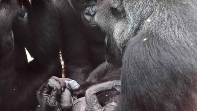 Le nouveau-né semble bien accepté par le groupe de gorilles du zoo de Beauval