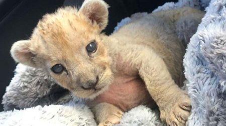 Le Lionceau a été découvert dans un garage