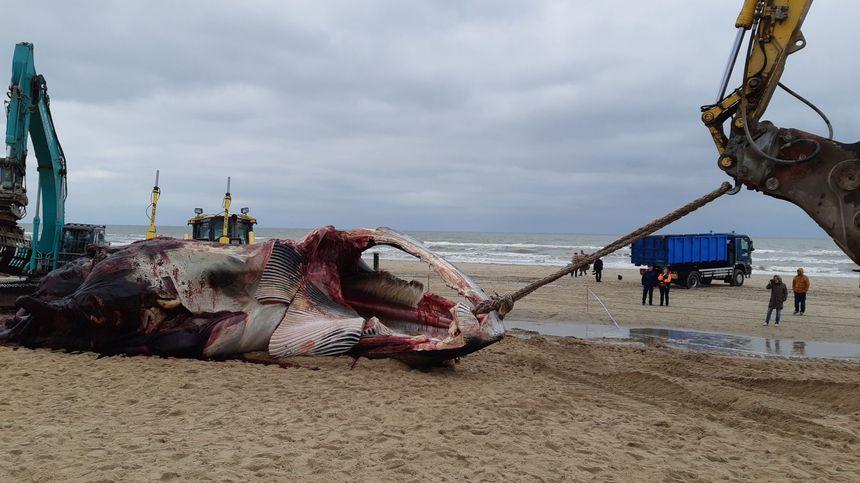 Le cadavre du mastodonte est évacué de la plage grâce à deux grues