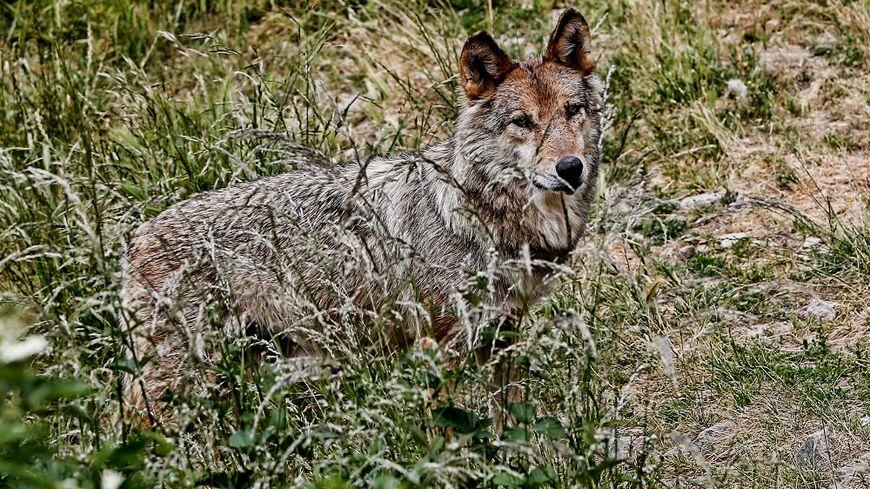 Le loup empoisonné entre dans le décompte national de prélèvements (image d'illustration)