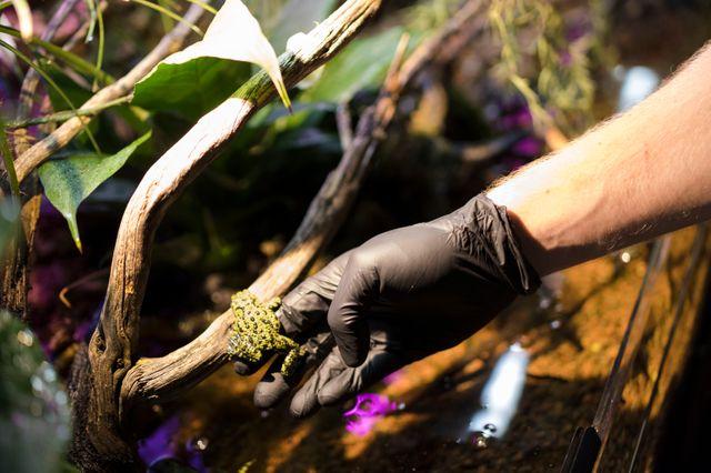 Certaines espèces de grenouilles ou de crapauds doivent être manipulés sans aucun contact avec la peau.