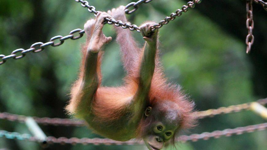Il reste de moins en moins d'orang-outans sur Terre comme ici dans un zoo de Jakarta.