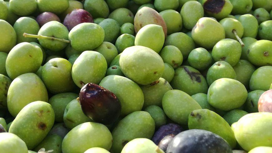 La récolte des olives a habituellement lieu entre novembre et décembre.