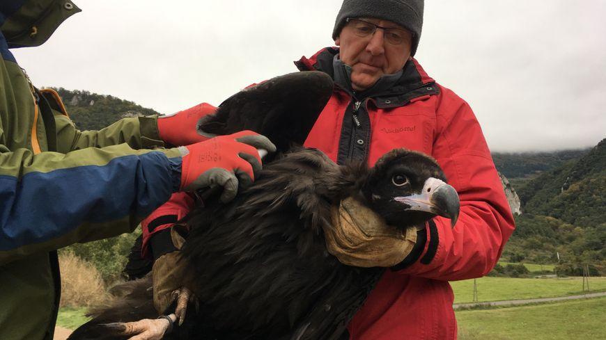 Le vautour moine est la seule espèce de rapaces qui n'a pas encore nidifié dans les Pyrénées françaises