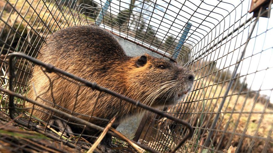 Les ragondins et les rats musqués ont colonisé tous les bassins versants de Normandie.