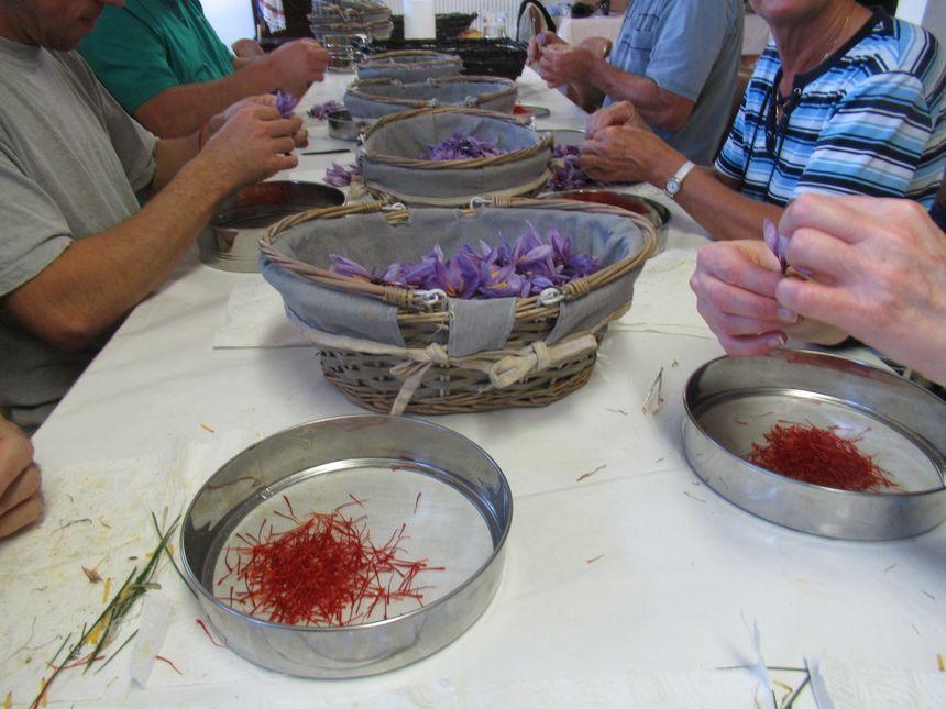 L'émondage des fleurs de crocus pour récupérer le safran
