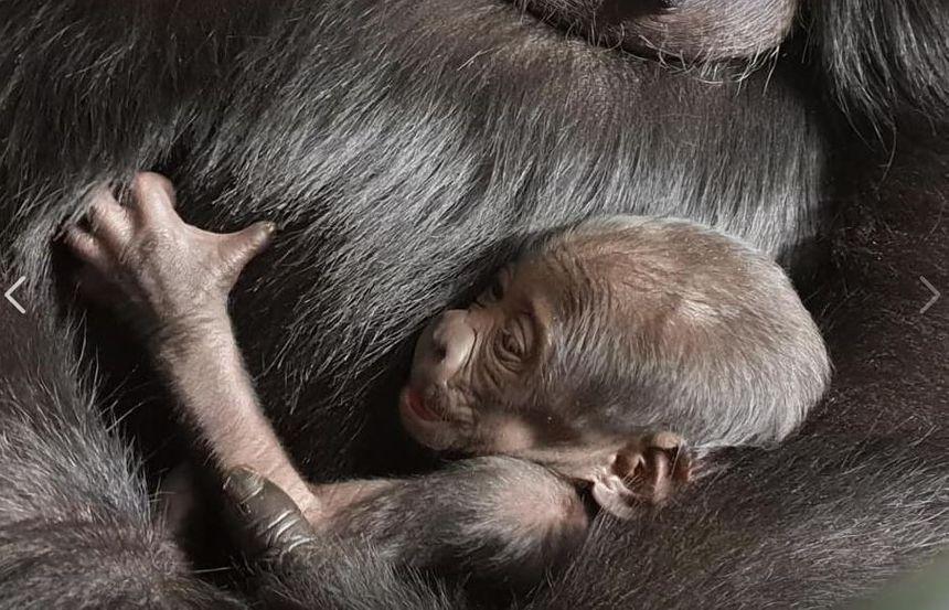 La maman gorille s'occupe bien de son nouveau-né, depuis sa naissance