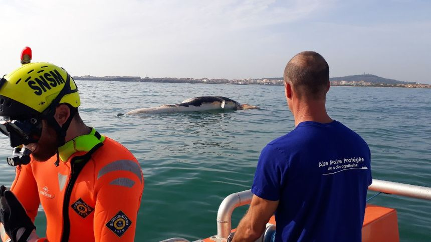 L'animal, en état de décomposition, a dérivé avant d'être remorqué au Cap d'Agde.