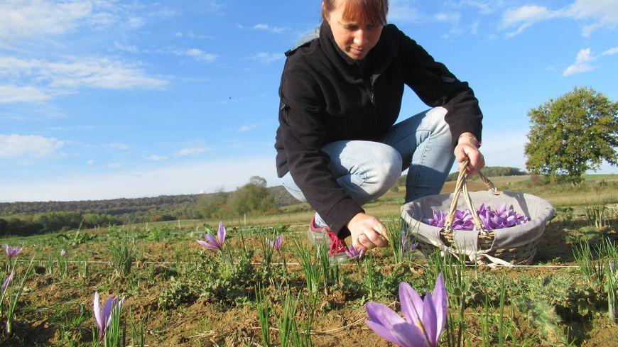 La récolte du safran à Sailly, dans les Ardennes