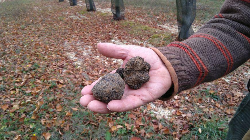 La qualité des truffes de Bourgogne ( tuber uncinatum) dans l'Yonne est cette année assez moyenne. le Kilo devrait se négocier autour de 500 euros