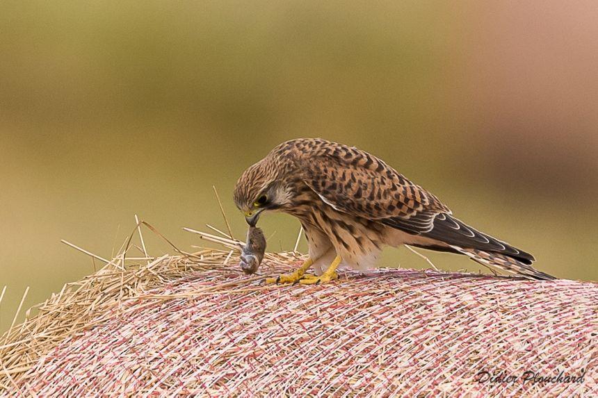 Le faucon crécerelle se nourrit essentiellement de micro-mammifères comme les mulots ou les campagnols