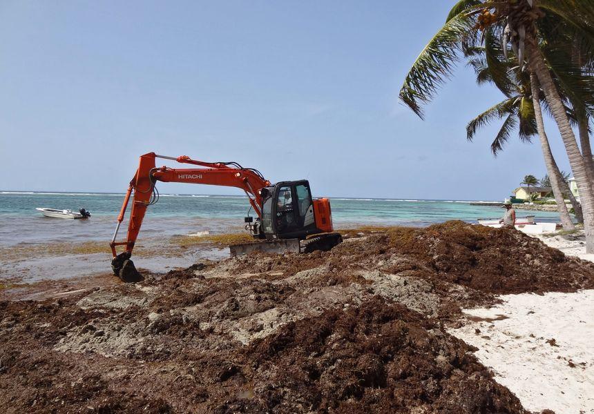 Les Antilles envahient par des nappes importantes d'algues Sargasses en 2015