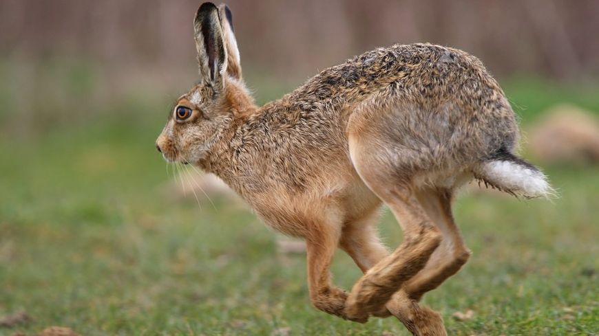A ne pas confondre avec le lapin