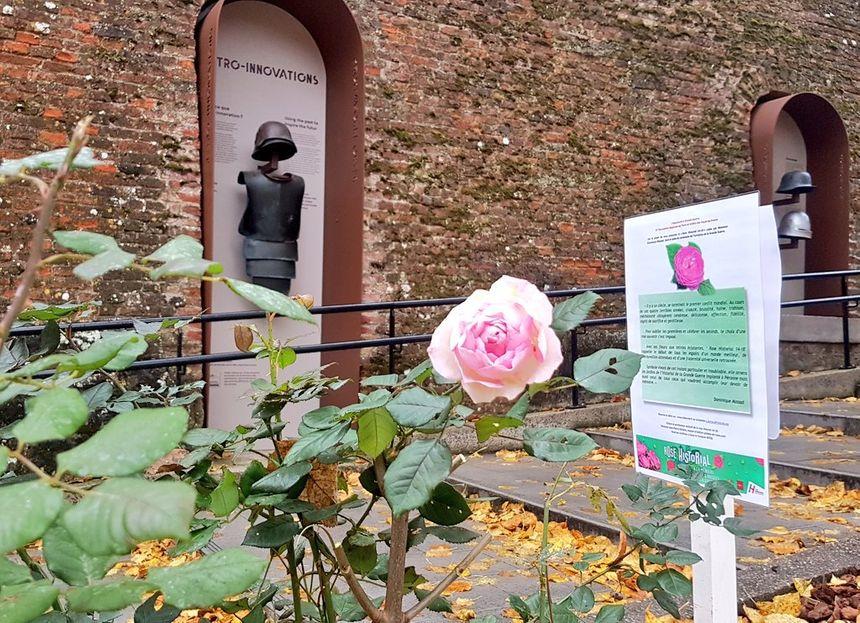 """La rose """"Historial"""", spécialement créée pour le centenaire de l'armistice."""