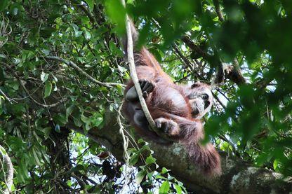 La réserve de Kinabatangan dans l'Etat de Sabah abrite 700 orangs-outans