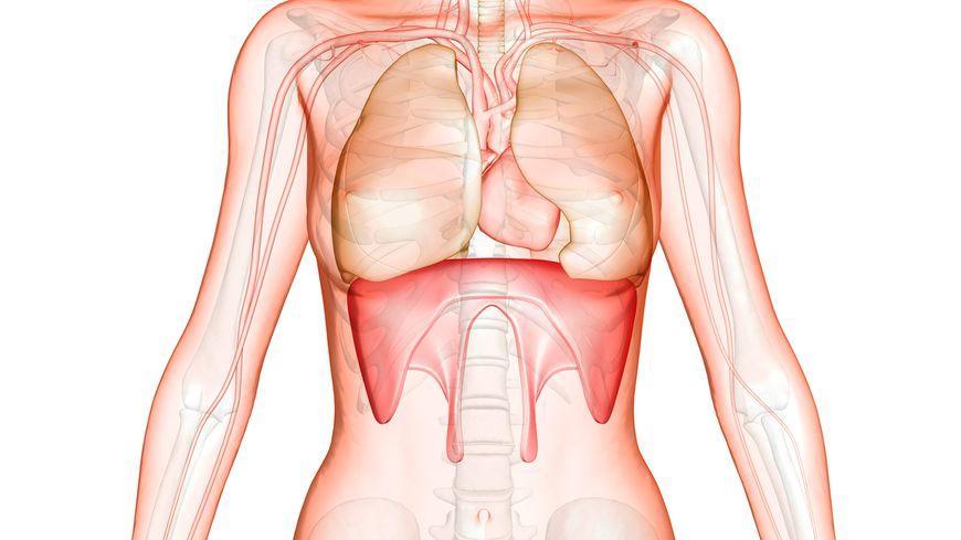 Le diaphragme : muscle de la respiration