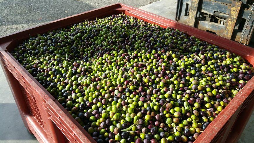 La coopérative Vignolis prévoit une hausse de 10 à 20% de ses récoltes d'olives cette année.