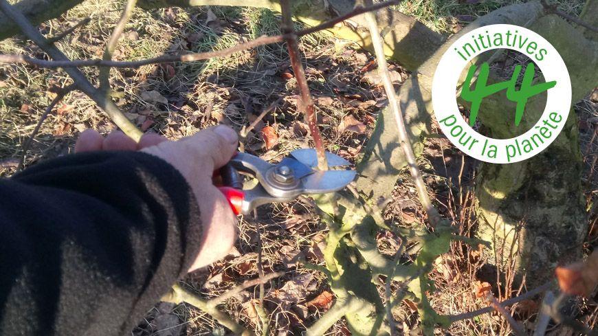 Taille de mirabellier, un arbre fruitier typiquement lorrain mis en avant par l'association.